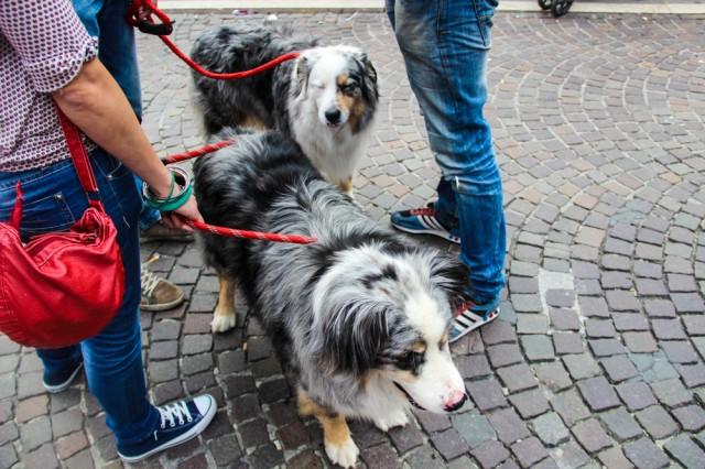 giro-2013-dogs-15